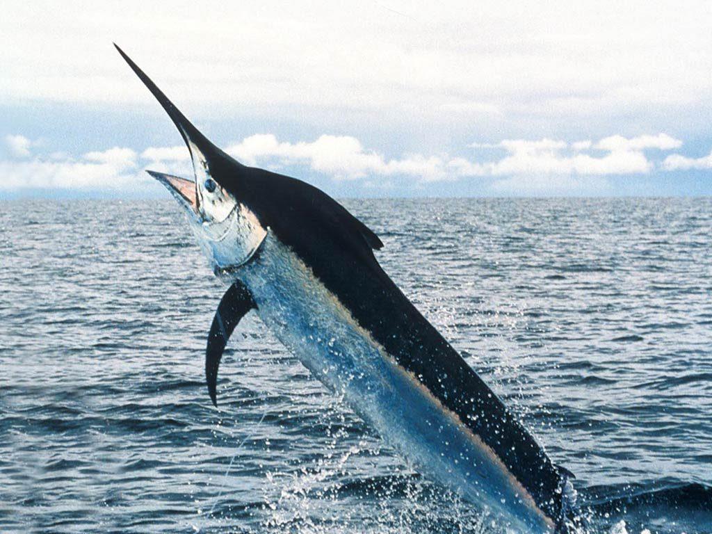 نتيجة بحث الصور عن سمك ابو سيف
